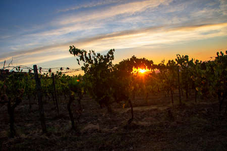 At Montalcino - Italy - On august 2020 - red grape in a vineyard in tuscan countryside at sunset Imagens