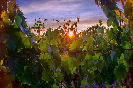 At Montalcino - Italy - On august 2020 - red grape in a vineyard in tuscan countryside at sunset 版權商用圖片