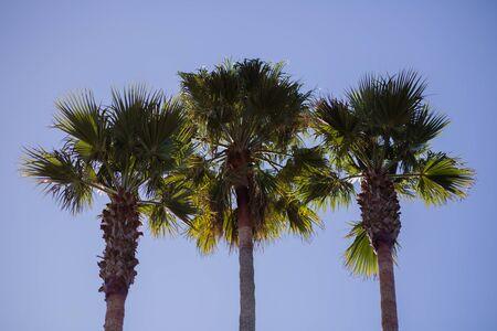 Three Vibrant Green Palm Trees in a Row With Blue Sky Background, on Santa Cruz Beach Boardwalk, Santa Cruz, California, USA