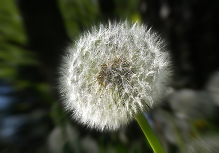 detailed view: Detailed view of a faded dandelion.
