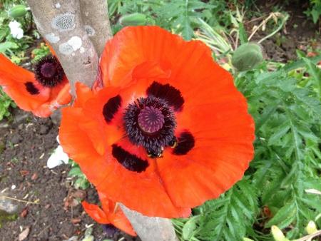 bright: Beautiful poppy in bloom Stock Photo