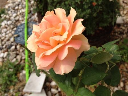 バラの上のクロール キリギリス