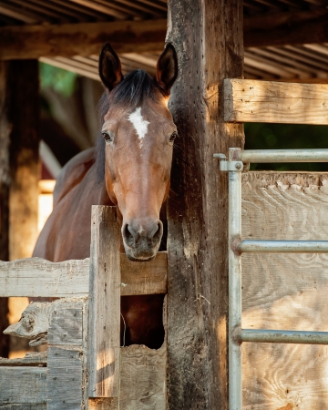 Alert Warmblood Mare looking out of stall Stock Photo - 21085183