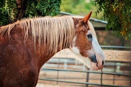 gelding: Clydesdale gelding looking over fence