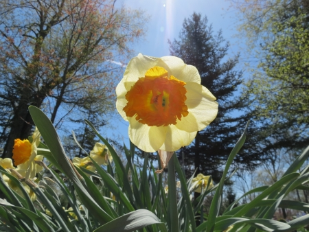 Spring daffodil on a sunny day photo