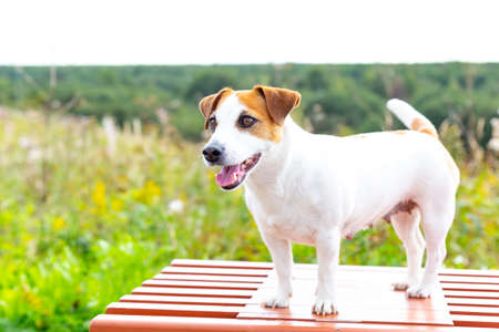 A dog Jack Russell Terrier stands on an orange bench, opened her mouth, stuck out her tongue, looks ahead against background of green forest.