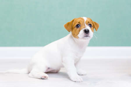 A beautiful white puppy of Jack Russell Terrier sits, looking up, against the background of a green wall. Dog training.