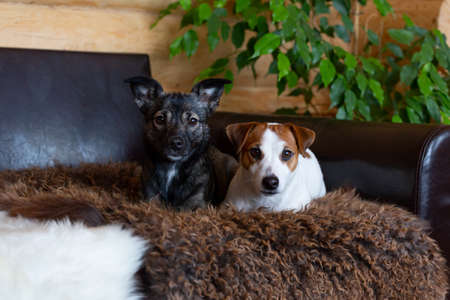 A portrait of two dogs. A white Jack Russell terrier and a black mongrel lie next to each other on sheep skins and look at the camera. Houseplant, ficus. Opposite, antipode. Dog day, pets day. Imagens