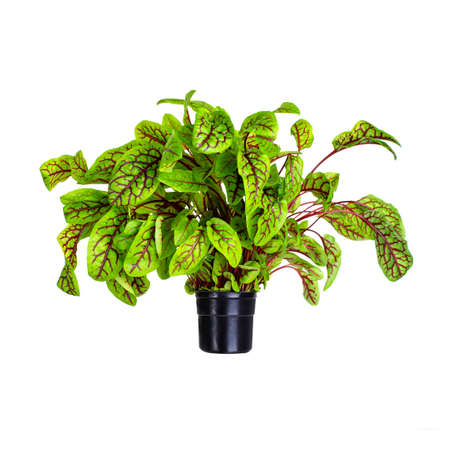 Greens lettuce, sorrel with in a pot isolated on white background. Red-veined sorrel, rumex condylomes. Growing greenery in greenhouse all year round. Vitamins, healthy eating, vegetarian.