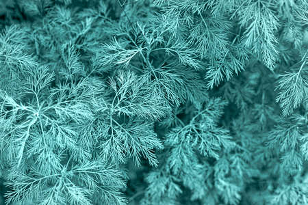 Beautiful delicate natural background in trendy color of 2021 - Tidewater Green, 2f4f4f. Dill or herringbone close-up, natural background, universal pattern. Gardening, plant growing. View from above.