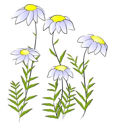 camomile: Flowers - camomile