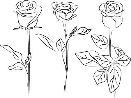 single rose: three roses on a white background- freehand
