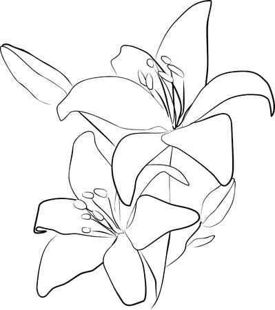 lily flowers: dos flores de lirio sobre un fondo blanco, a mano alzada