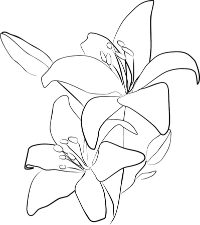 two lily flowers on a white background- freehand photo