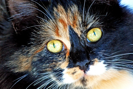 calico whiskers: Calico Cat