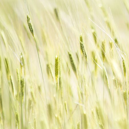 Cereal crop, field in Provence, France Stok Fotoğraf
