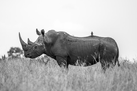 poach: A beautiful White Rhino showing us a wonderful side profile. Majestic Creatures...