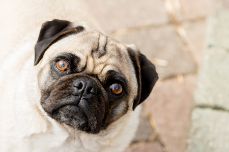 A sweet little pug looks up into the camera.