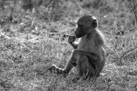 back lighting: A young baboon eating tidbits with some nice back lighting. Stock Photo