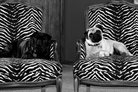 pampered: A black and fawn pug sit upon their thrones.