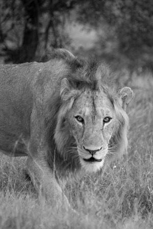 A young male lion gives the camera a good stare.
