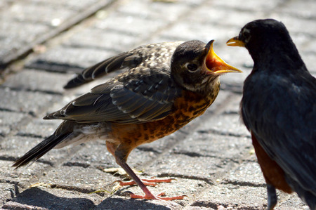 A baby Robin begs for food from its mother.