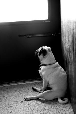 Waiting Pug