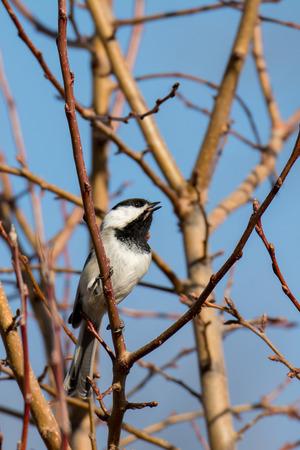 chickadee: A chickadee whistles his cute little tune. Stock Photo