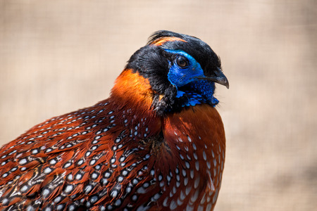 A beautiful colored pheasant.