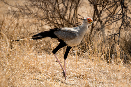 A Secretary Bird looking for a meal in the long grass.