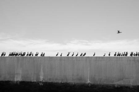 cormorants: A row of cormorants on concrete. Stock Photo