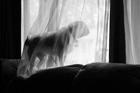pet photography: Waiting Pug