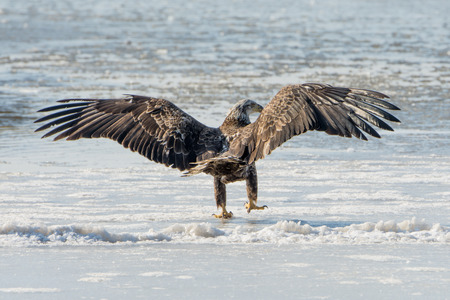 A young bald eagle lands upon the ice.