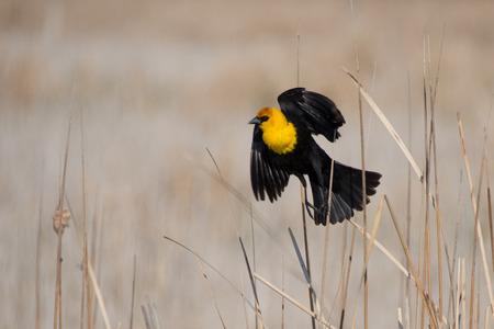 headed: Yellow Headed Blackbird Stock Photo