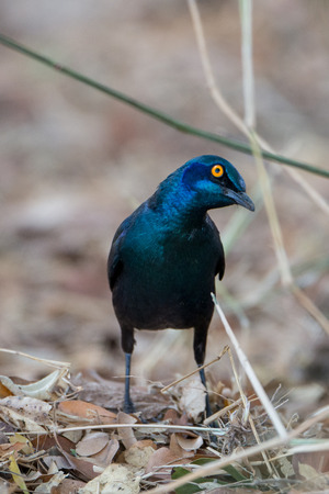 bystanders: An inquisitive Glossy Starling hoping to get a treat from bystanders.
