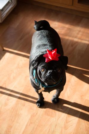 black pug: A black pug enjoys Christmas with a bow on his head!