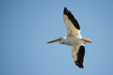 A pelican soaring through the wind. Stok Fotoğraf