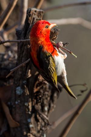 Red Headed Weaver