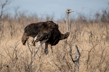 A male ostrich walking Imagens