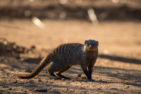 A banded mongoose in the African Bush.