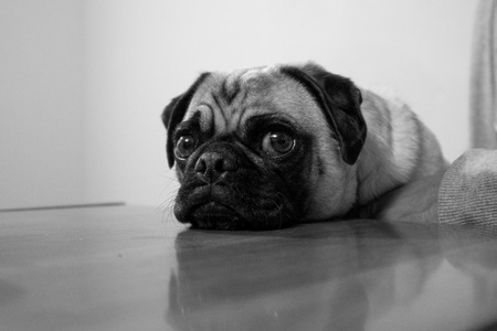 A pug rests his chin on a table looking quite innocent. Banco de Imagens