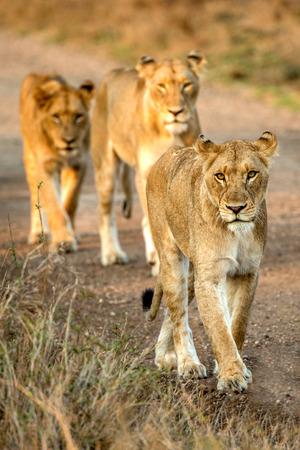 Line of Lions Фото со стока