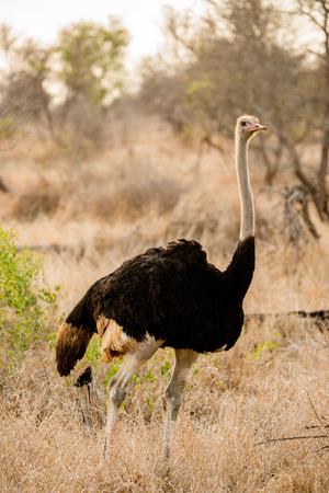 A male ostrich strutting his stuff. Imagens