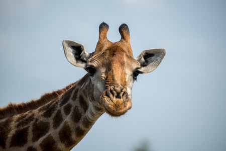 A giraffe with a subtle smile on his silly face.
