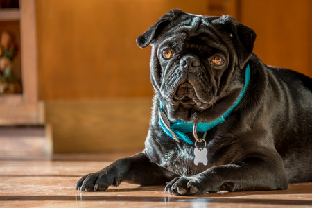 obey: A black pug relaxes in the sunshine. Stock Photo