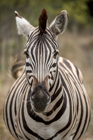 looking directly at camera: A zebra looking directly into the camera!