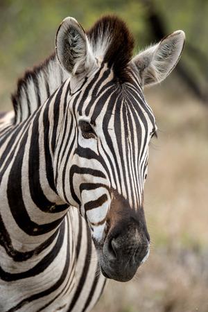 Zebra Profile Stock Photo - 36952453