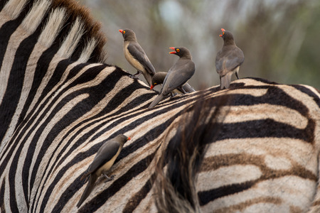 oxpecker: A group of Oxpeckers ride along on top of a Zebra. Stock Photo