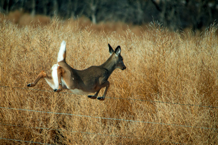 white tail deer: A female white tail deer jumping over a fence.
