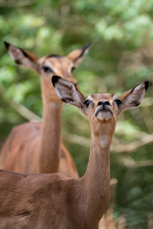 curiously: A female impala sniffs curiously at us onlookers.